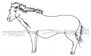 図2 海中での与那国馬の腹部